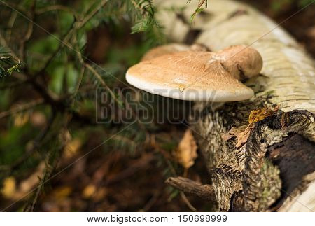 Tinder conk Fomes fomentarius on a tree trunk