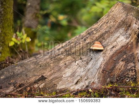 Tree bark with Fomes fomentarius (tinder fungus) closeup