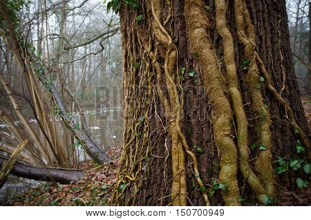 tree covered with ivy lianas in an autumn forest