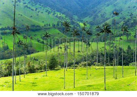 Landscape of wax palm trees in Cocora Valley near Salento Colombia