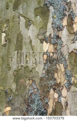 Bark of old plane tree. Natural textured background.