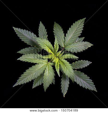 Detail of Marijuana plant leaves (cannabis sativa) isolated on black background