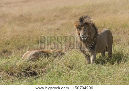 Mature male lion standing close to resting lioness Masai Mara National reserve Kenya Africa