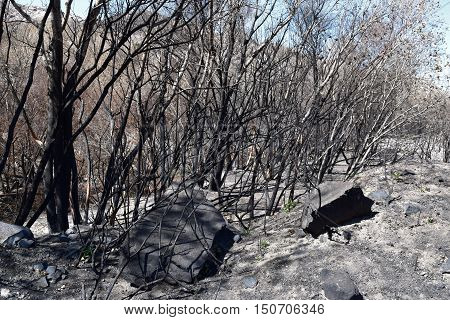 Charcoaled landscape including a burnt riparian forest caused from the Blue Cut Fire taken in Cajon, CA