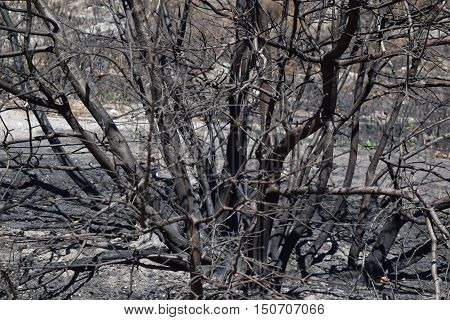 Charcoaled branches on a burnt plant taken after a wildfire taken in Cajon, CA