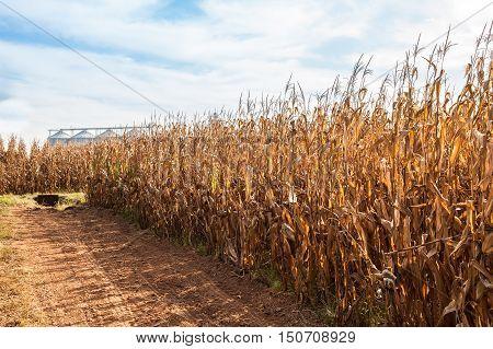 Rural landscape . Field of corn ready for harvest