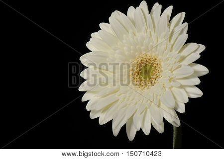 White Flower Not-centered Gerbera Close-up well-lit Black Background