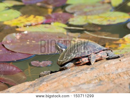 A painted turtle perched on a log in a marsh.