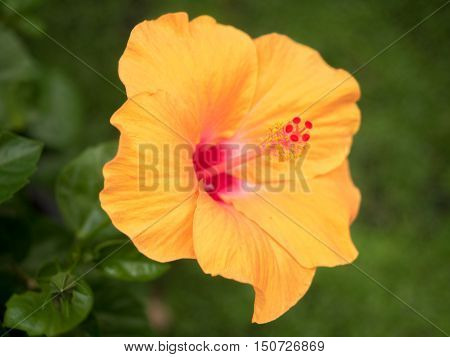 Beautiful yellow hibiscus flower on nature background