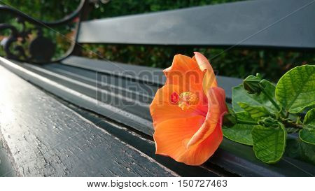 beuatiful pink hibiscus flower wooden garden bench