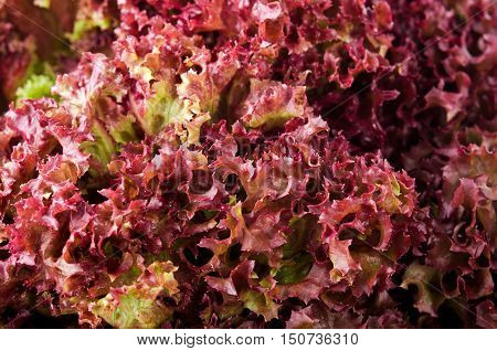 green and red lettuce salad, Lollo Rosso, for backround.