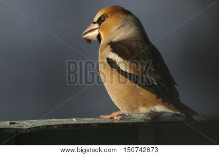 flora, animals, bird, Grosbeak, hawfinch, Coccothraustes, a family of finches, Fringillidae, nature
