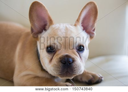 French Bulldog Puppy - Canis lupus familiaris
