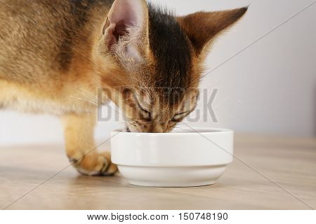 abyssinian kitten eat catfood from white bowl, 3 month old