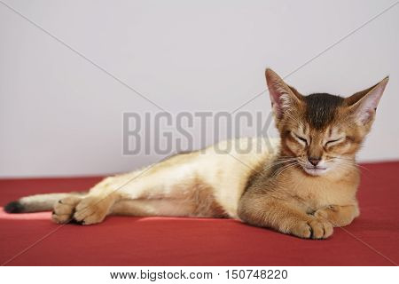 wild color abyssinian kitten 3 month lying on table tired, sleepy cat
