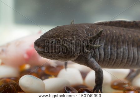 domestic axolotl in the aquarium close up