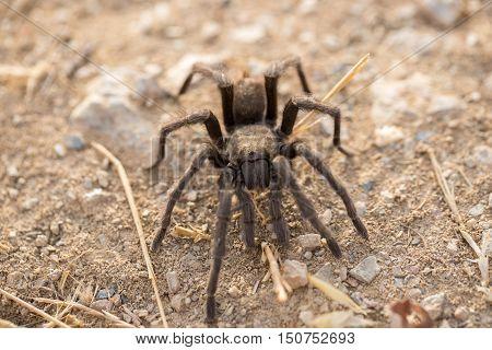 Tarantula - Aphonopelma. Santa Clara County, California, Fall 2016