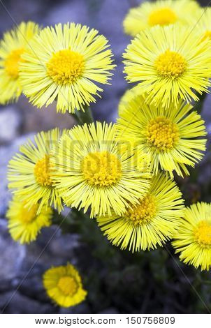 Yellow coltsfoot flowers (Tussilago farfara) in early spring.