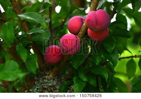 Stone-fruits-tree-plums-red-fresh-organic