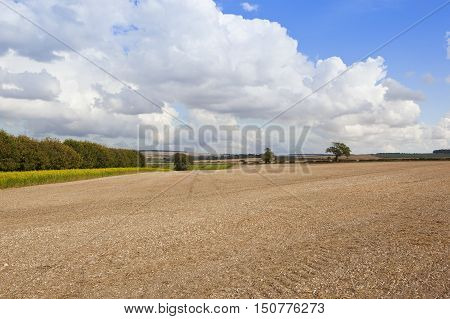 Cultivated Field With Mustard
