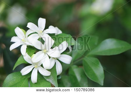 Close up Small white flower, Orange Jessamine flowers