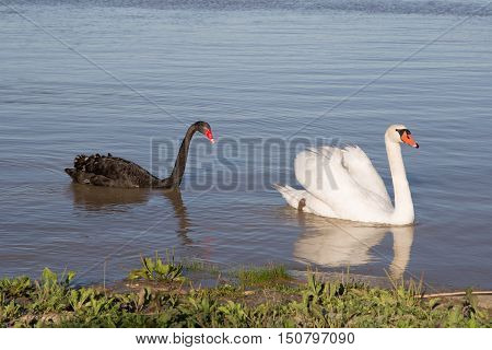 Two white swans white and black on the river.