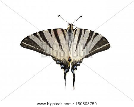Scarce Swallowtail (Pear-tree Swallowtail) butterfly isolated on white.
