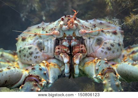 Kamchatka King crab in the waters of the Pacific ocean
