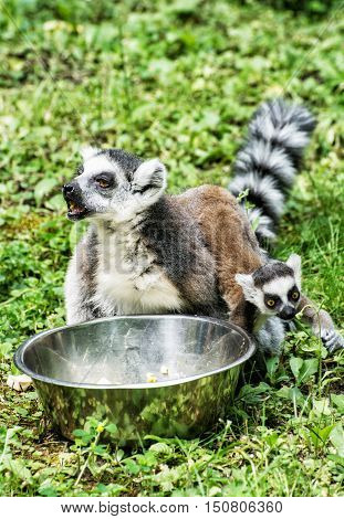 Ring-tailed lemur - Lemur catta - with cub are fed from the bowl. Animals in captivity. Beauty in nature.