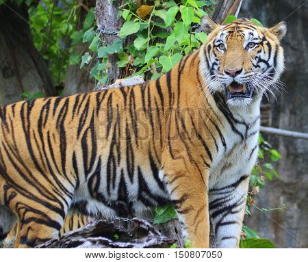 male Bengal tiger standing and looking around, Songkhla, Thailand