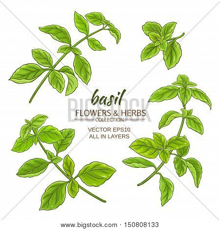 basil plant vector set on white background