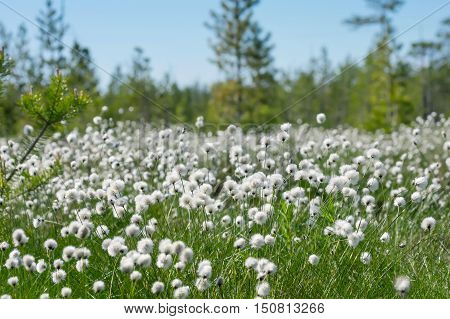 Spring bright landscape with blooming cotton grass