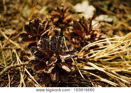 pine cones dry on the eath in the wood