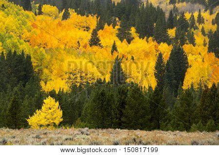 Quaking Aspen in autumn splendor in the Rocky Mountains of Colorado.