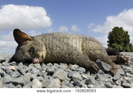 Wildlife-animals-possum-nz-new-zealand
