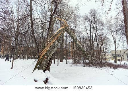 Nizhny Novgorod, Russia - February 4.2016. Old birch broken by a strong gust of wind in the Kulibin park. In the fall of the trunk twisted and broke like paper
