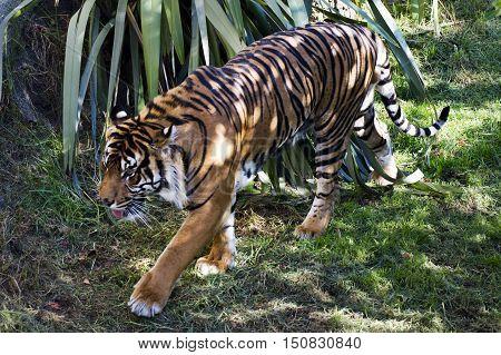 Photo of a Sumatran Tiger walking in a tree.