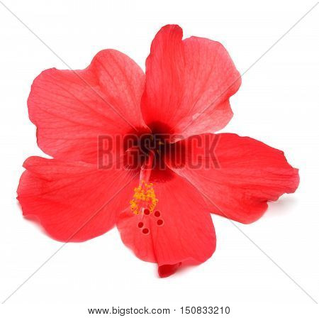 Pink hibiscus isolated on white background. Flower.