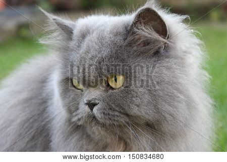 big Persian cat in the green grass