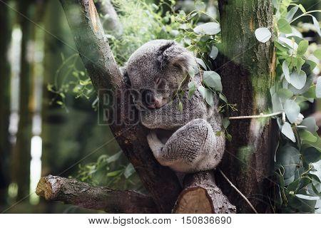 Cuddly Cute Koala Bear Marsupial Sleeping Tree