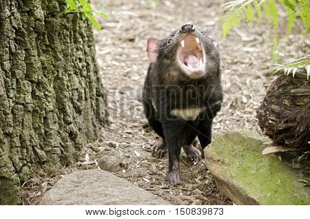 the Tasmanian Devil is growling and snarling