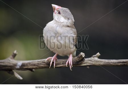 the java sparrow is sitting on a branch