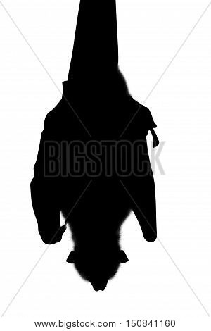 Silhouette of bat while sleeping, Wahlberg's epauletted, Wahlberg's epauletted fruit bat, is a species of megabat Pteropodidae in the family who is in South Africa. Isolated on white background.
