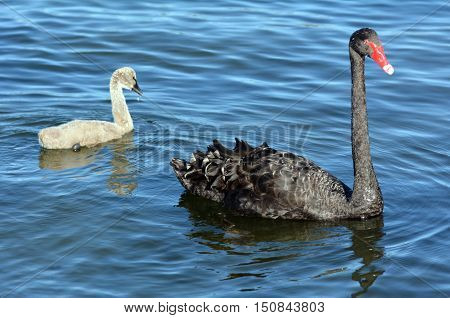Female Black Swan With Her Cygnet