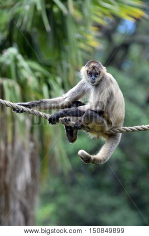 Spider Monkey Sit On A Rope
