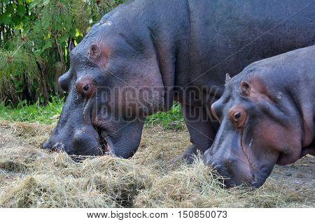 Two Hippopotamus Eat Hay