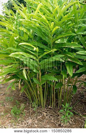 galangal in vegetable garden, food ingredient, thai