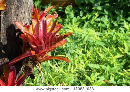 Aechmea fasciata kind of local Brazil Plants put on Dry tree trunk Select focus with shallow depth of field