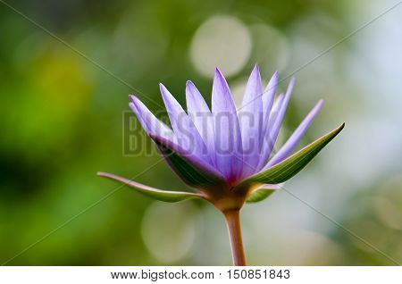 Lotus, purple, blur, background, beautiful, beauty, bloom, blooming, blossom, botany, exotic, floral, flower, green, lily, lotus, natural, nature, park, pink, plant, summer, tropical, water, white, wild, yellow