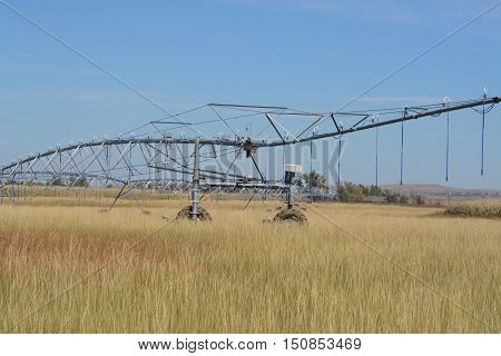 Agricultural Irrigation with walking sprinkler in crop field